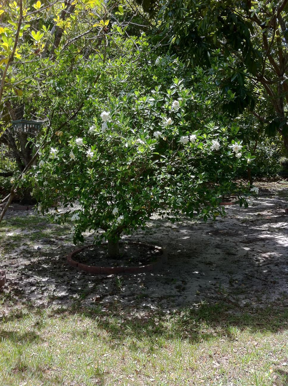 Early Gardenia