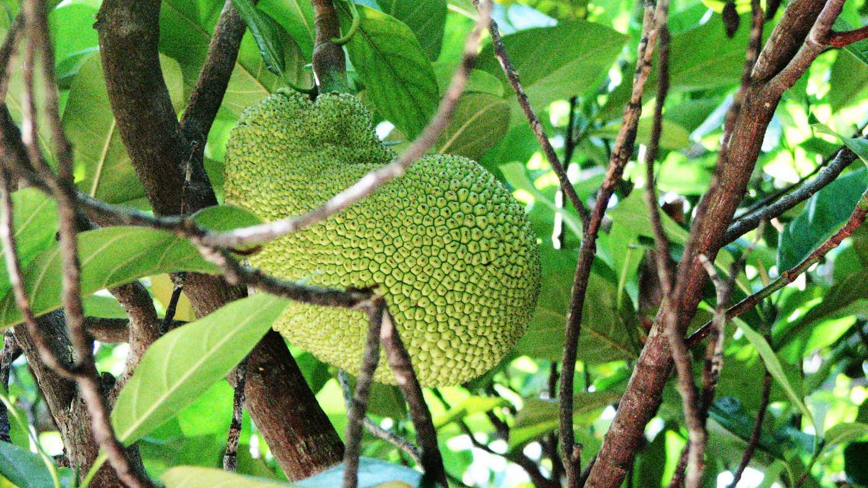 My Jack Fruit