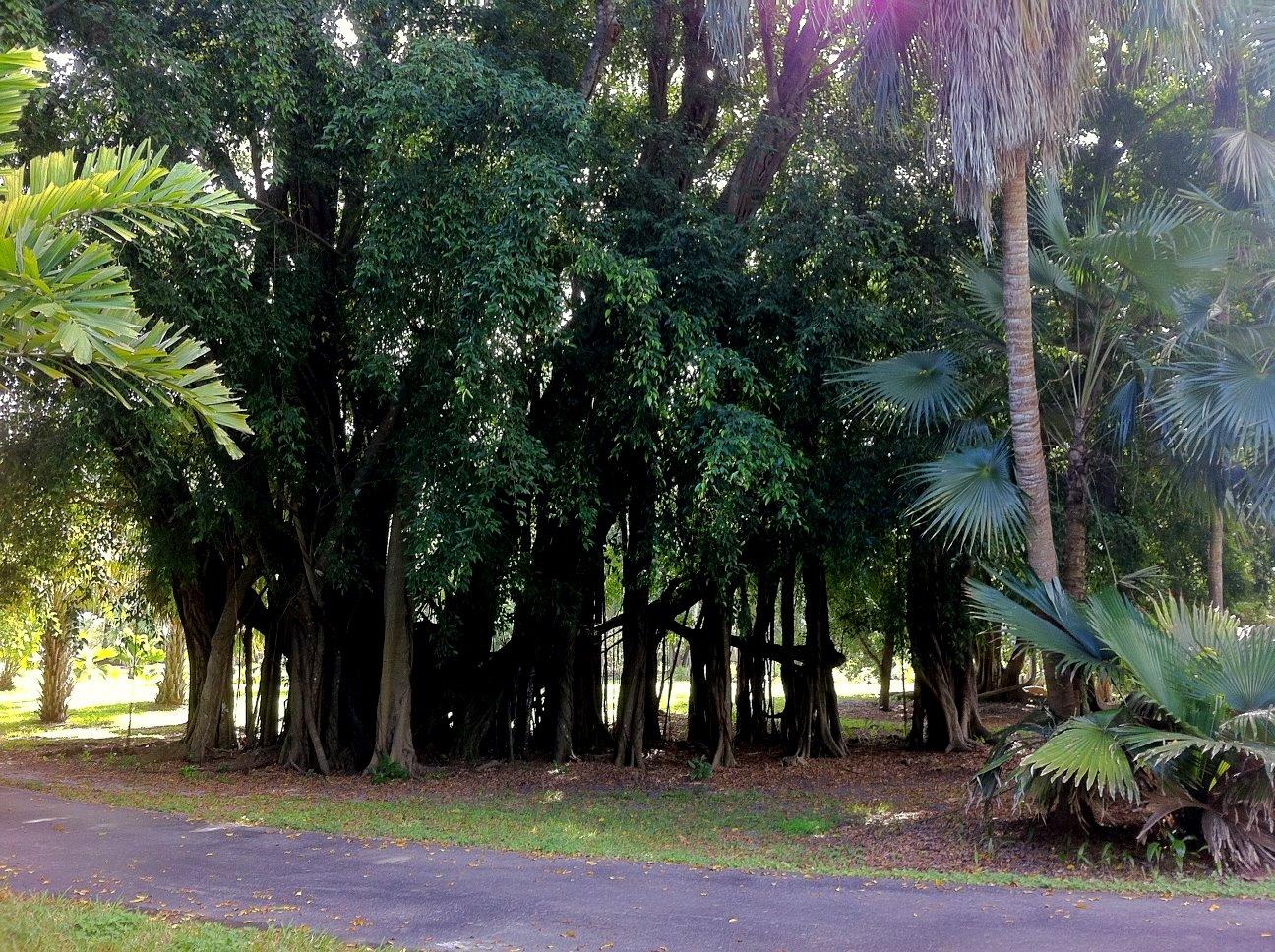 Sacred Banyan