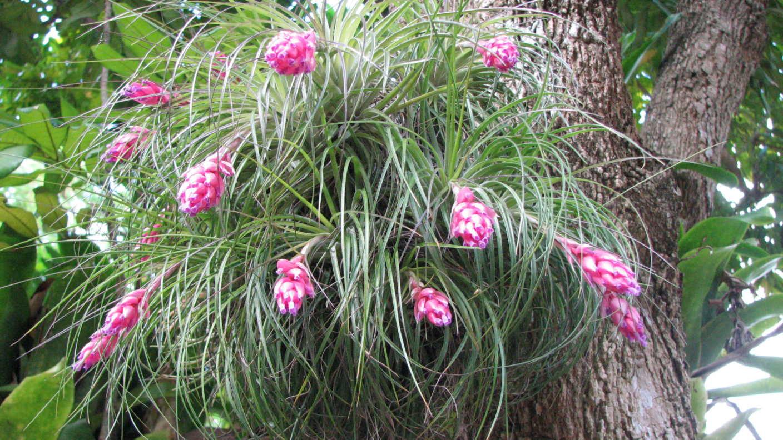 Miniature Bromeliad