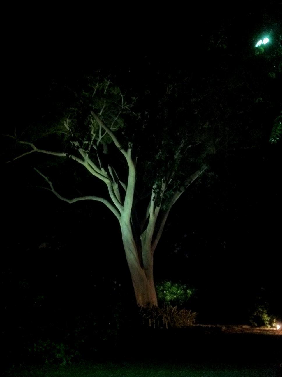 Nocturnal Albizia
