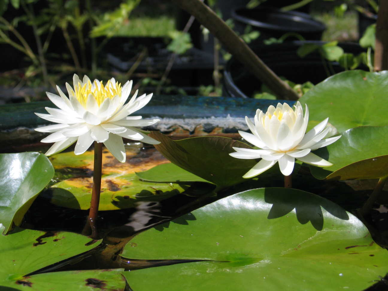 Dwarf Lilies