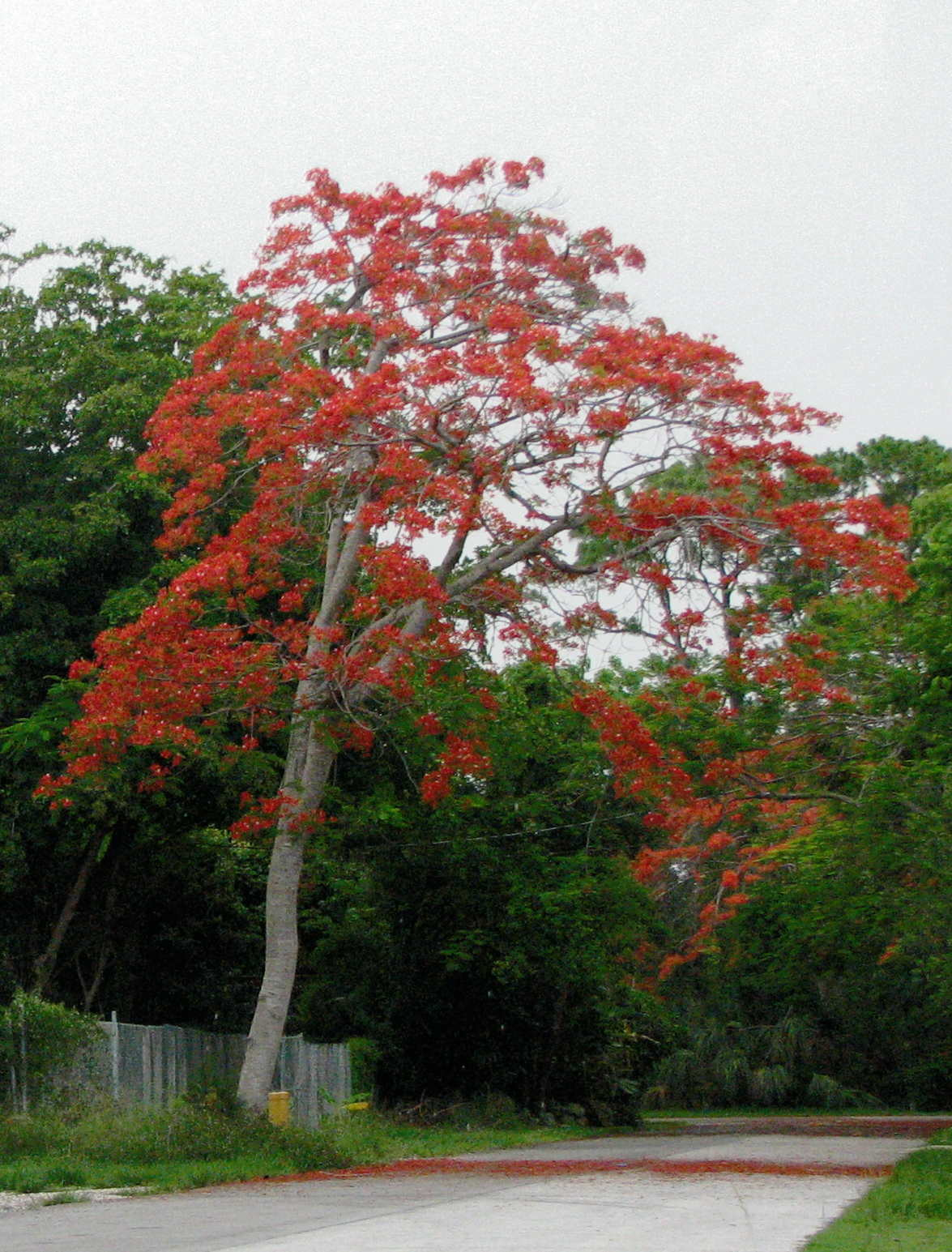 Best Poinciana