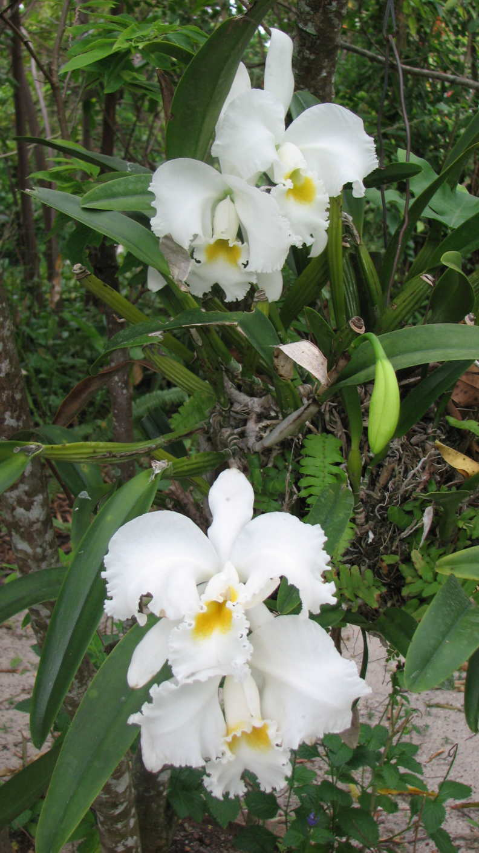 White Cattleyas