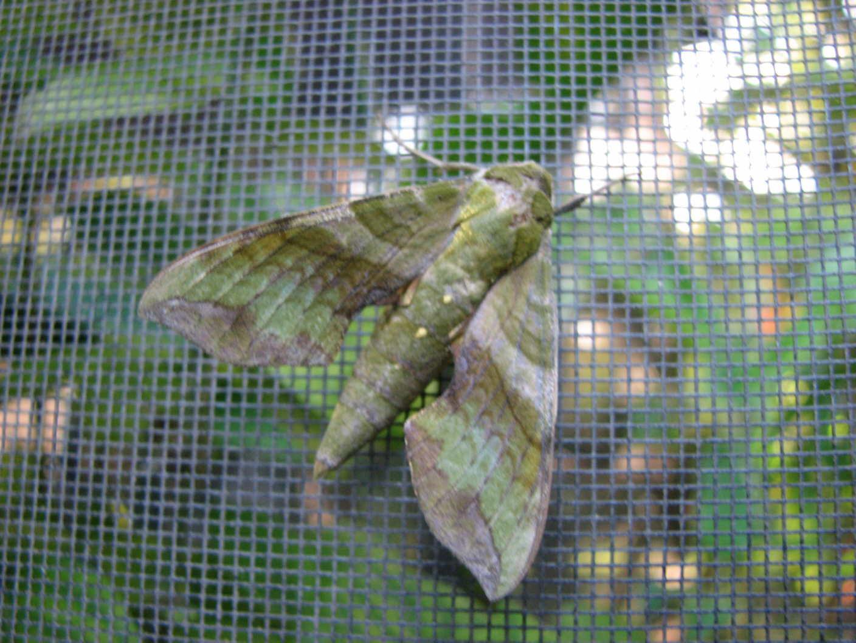 Lazy Moth