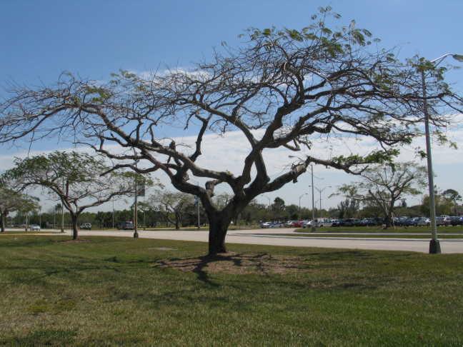 Today's Royal Poinciana Trees in Miami