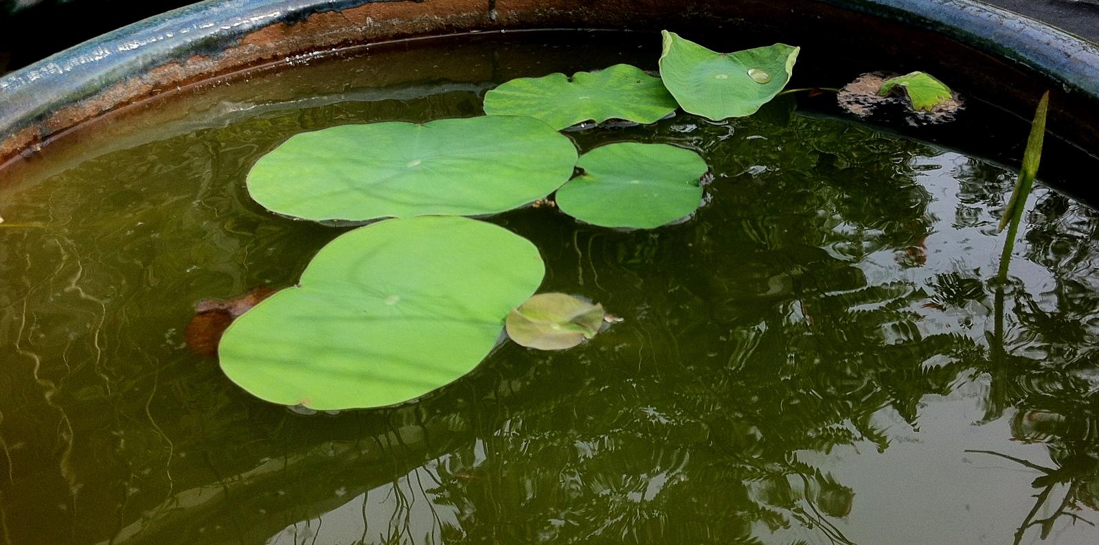 Baby Lotus