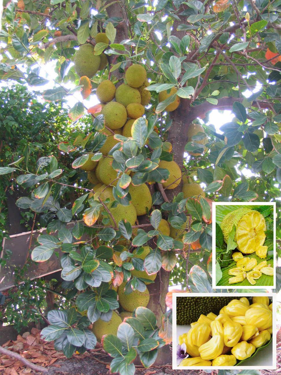 Jackfruit, again