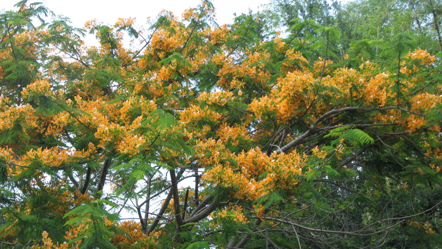Yellow Delonix regia