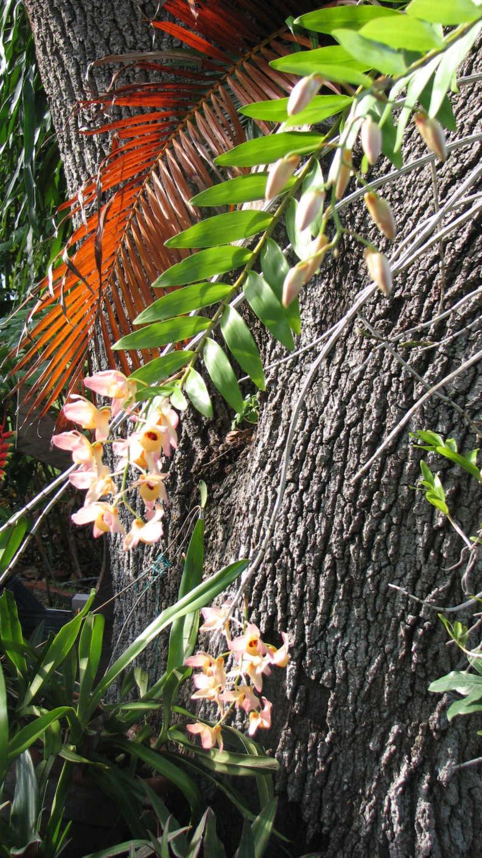 May Dendrobiums