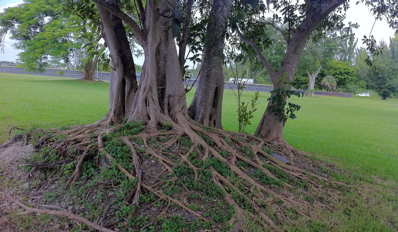 Ficus Roots