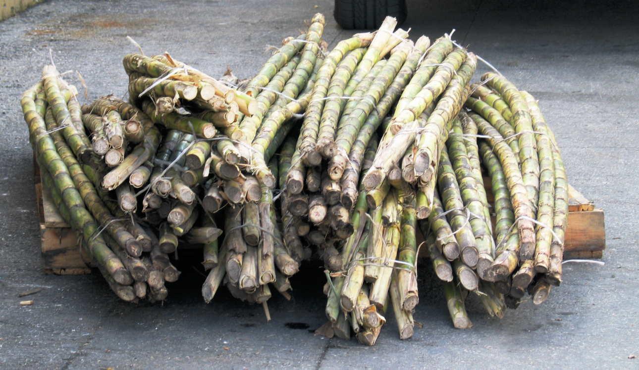 Sugar Canes