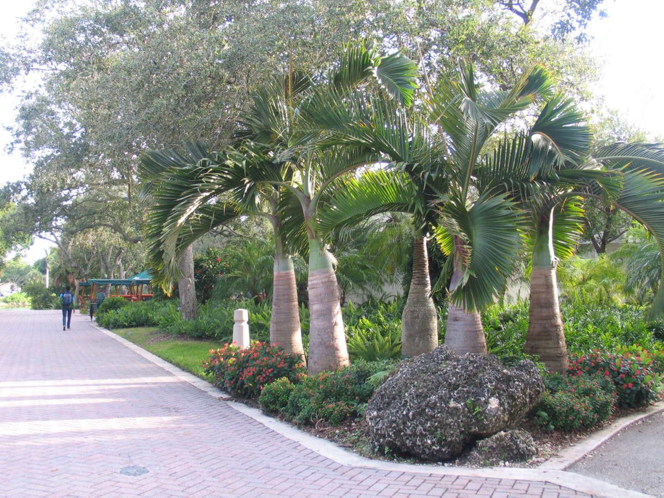 Bottle Palms