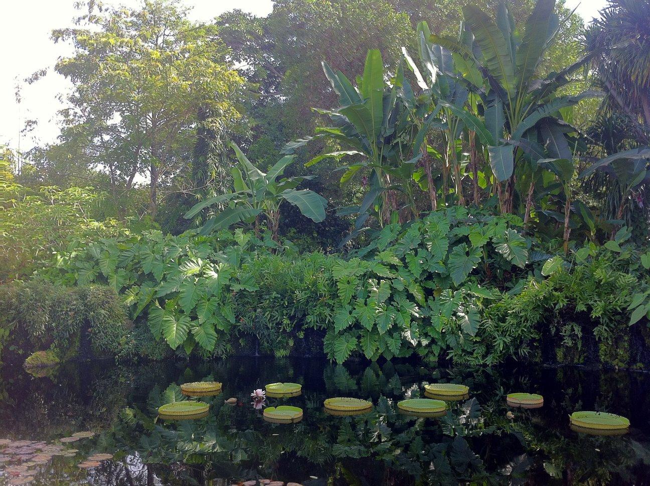 V. Amazonica