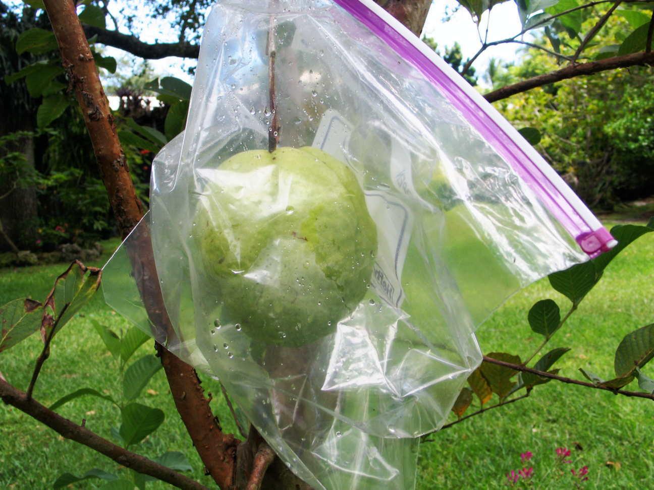 2-lb guava