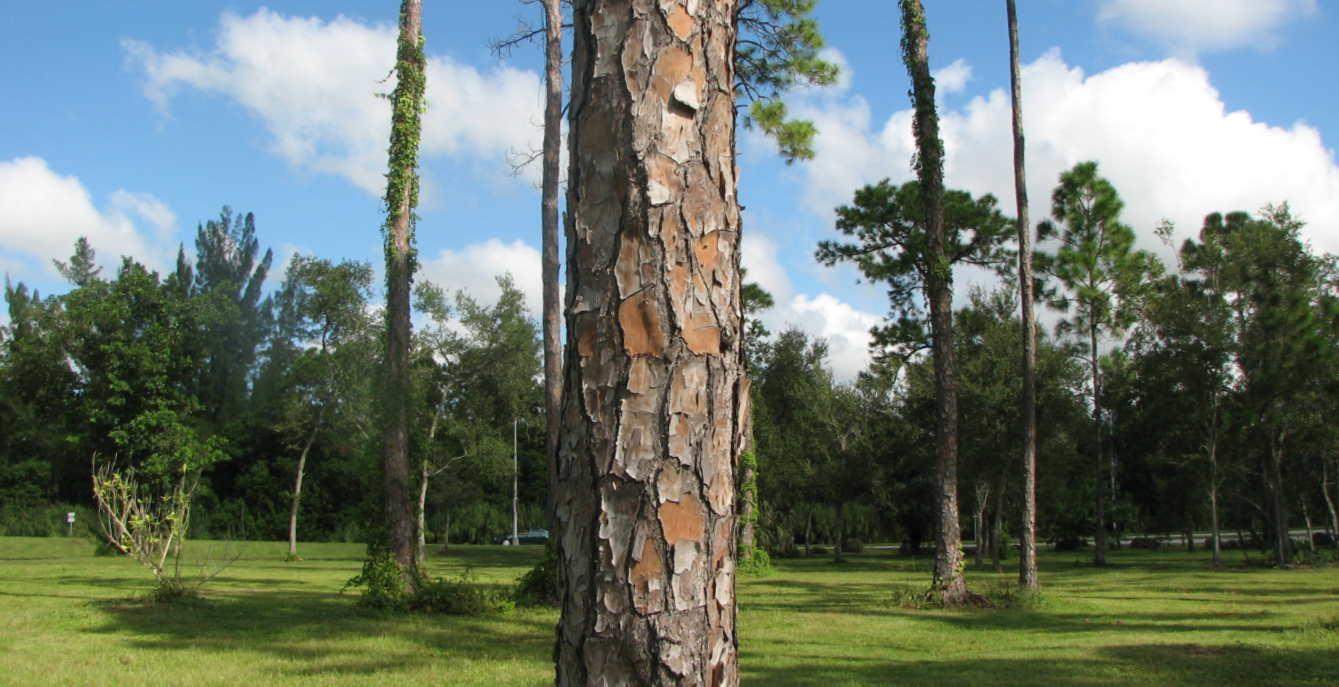 Florida Pine